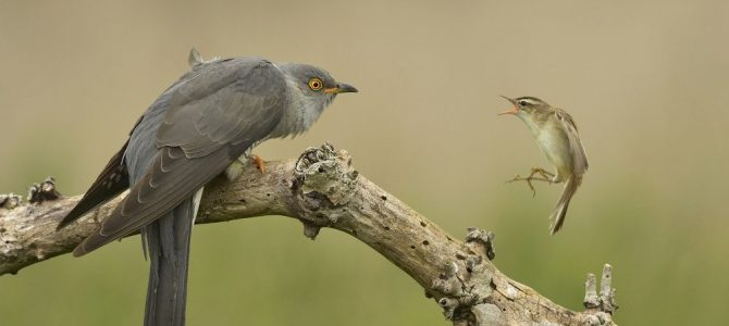 Cuckoo and Sedge Warbler wins photographic award.  Living Planet Photography Competition – Winners Announced.
