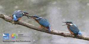"""Ravi Parvatharaju image entitled """"Moment of magic - Kingfisher feeding its newly fledged baby"""""""