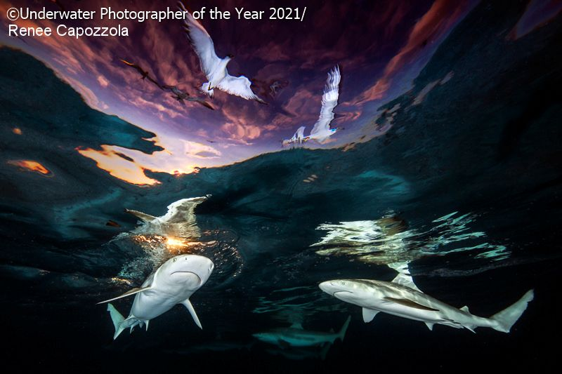 Underwater Photographer of the Year 2021: 'Sharks' Skylight' Renee Capozzola (USA)
